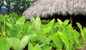 Kalo growing in front of the Hale at WCC